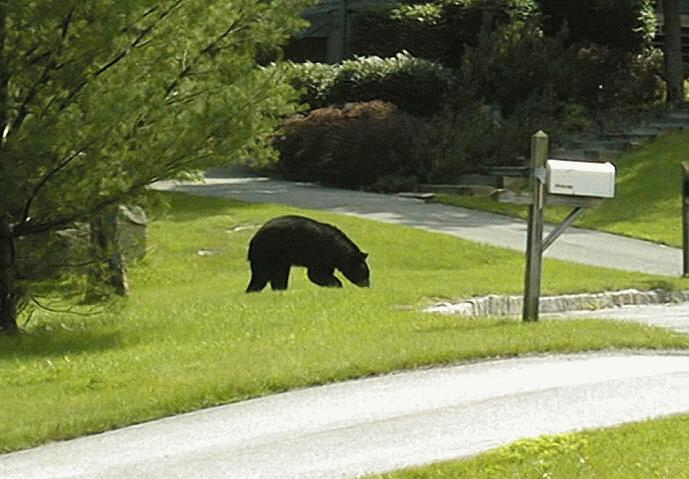 Click here to see Bear playing in yard